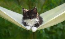 Maine Coon Kitten / 75 von Heidi Bollich