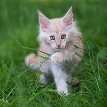 Maine Coon Kitten / 78 von Heidi Bollich