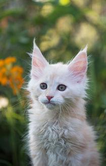 Maine Coon Kitten / 77 von Heidi Bollich