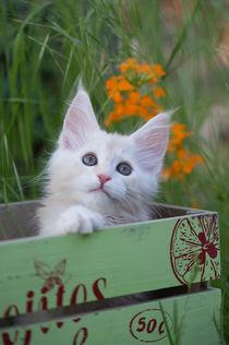 Maine Coon Kitten / 76 von Heidi Bollich