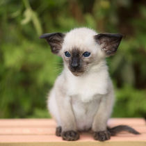 Siam Kitten / 21 by Heidi Bollich