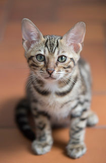 Bengal Kitten / 4 by Heidi Bollich