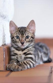 Bengal Kitten / 7 von Heidi Bollich