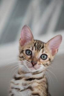 Bengal Kitten / 3 by Heidi Bollich