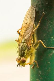 Fliege 1 von toeffelshop