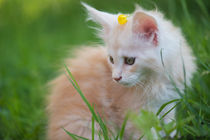 Maine Coon Kitten / 83 by Heidi Bollich