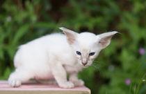 Balinesen Kitten / 36 by Heidi Bollich