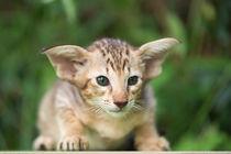 Orientalisch Kurzhaar Kitten / 2 by Heidi Bollich