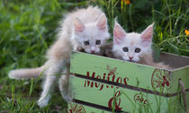 Maine Coon Kittens / 7 by Heidi Bollich