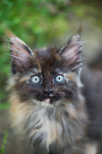 Maine Coon Kitten / 81 by Heidi Bollich