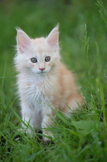 Maine Coon Kitten / 82 by Heidi Bollich