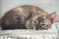 Bengal Kitten / 19 by Heidi Bollich