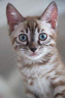 Bengal Kitten / 20 by Heidi Bollich