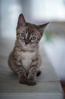 Bengal Kitten / 14 von Heidi Bollich