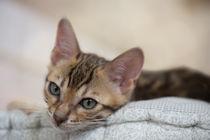 Bengal Kitten / 16 by Heidi Bollich