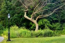 Tree, Prospect Park by Cesar Palomino