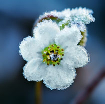 Beautiful frozen flower. by Maxim Khytra