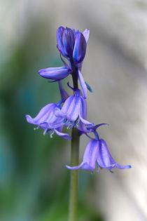 Hyacinthoides by Bernhard Kaiser