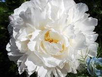 Pfingstrosenblüte von Hans-Georg Kasper