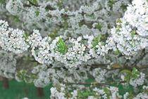 Kirschen blühen von Iryna Mathes