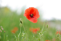 Mohn Impressionen by Iryna Mathes