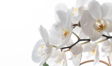 Orhidee-irynamathes-1
