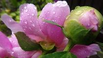 Regentropfen auf Sommerblüte  by Art of Irene S.