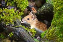 Feld-Wald-Wiesen-Maus von gugigei