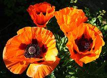 Mohnblumen in voller Blüte von Martina Lender-Frase