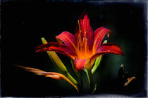Hemerocallis by Barbara  Keichel