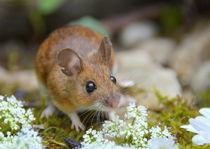 kleine Maus von gugigei