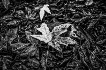 maple leaves in black and white von timla