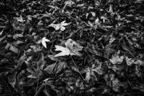 maple leaves in autumn in black and white von timla