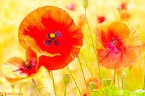 Soft Tender Wild Poppies von Sandra  Vollmann