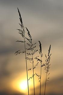 Gräser vor dem Abendhimmel by Bernhard Kaiser