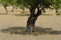 Alter Olivenbaum auf Mallorca von ralf werner froelich