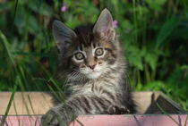 Maine Coon Kitten / 80 by Heidi Bollich