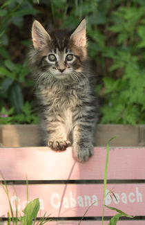 Maine Coon Kitten / 79 by Heidi Bollich