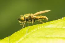 Kleine-fliege