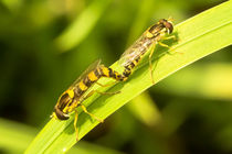 Schwebfliegen-bei-der-fortpflanzung
