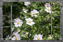 Fenstergrau-rosen