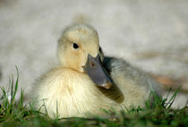Duckling by Harvey Hudson