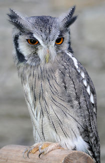 Scops Owl by Harvey Hudson