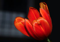 Orange Tulip by Harvey Hudson