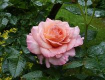 Rose 6 von Eike Holtzhauer