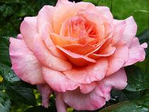 Rose 5 von Eike Holtzhauer