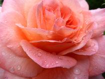 Rose 4 von Eike Holtzhauer