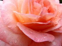 Rose 3 von Eike Holtzhauer