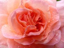Rose 1 von Eike Holtzhauer