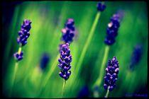 Delicate Lavendel by Sandra  Vollmann
